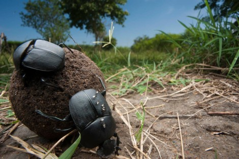 How are these dung beetles, in the Kabwoya Wildlife Reserve on the shores of Lake Albert in Uganda, using celestial navigation in the daytime? Well, they're using the most awesome navigational beacon there is—the sun! Photograph by Joel Sartore, National Geographic Contact is Lake Albert Safari Lodge Manager:  Richard Angubo Lake Albert Safaris Ltd. info@lakealbertlodge.com +256 772 36 55 29 personal cell +256 772 221 003 lodge  Owner of lodge is Bruce Martin E-mail Bruce@lakealbertlodge.com +256 753 22 1006