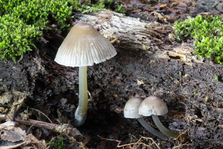 Mycena fungi like these in Rock Creek Park are usually characterized by a conical cap and thin stem. Photograph by Gabby Salazar, National Geographic