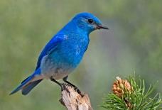 Is this mountain bluebird a blue bird? Magritte? Photograph by Elaine R. Wilson, courtesy Wikimedia. CC-BY-SA-2.5