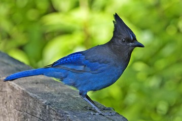 "Steller's jays like this one are just one species identified as ""blue jays."" But are they really ""blue frauds""? Photograph by Alan D. Wilson, courtesy Wikimedia. CC-BY-SA-3.0"
