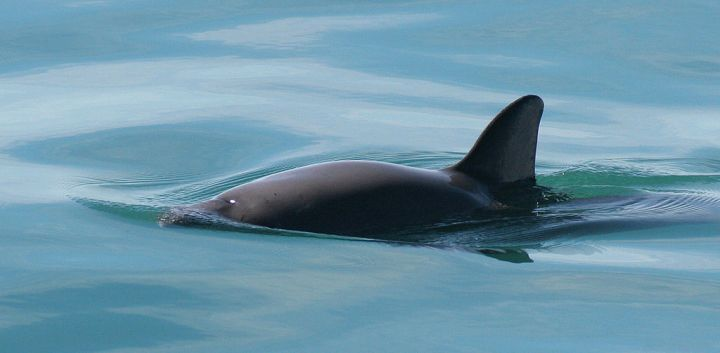The vaquita is the world's tiniest porpoise, and has a tiny range—the northern part of the Gulf of California. Photograph by Paula Olson, courtesy NOAA
