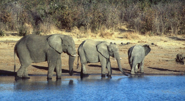 Elephants put the charismatic in charismatic megafauna. Photograph by Kevin Walsh, courtesy Flickr. CC-BY-2.0