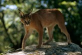 The caracal is a medium-size cat found throughout Zimbabwe and the rest of southern Africa.Photograph by Volkmar K. Wentzel, National Geographic