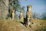 Another big cat threatened by Zimbabwe's drought is the cheetah. Photograph by Volkmar K. Wentzel, National Geographic