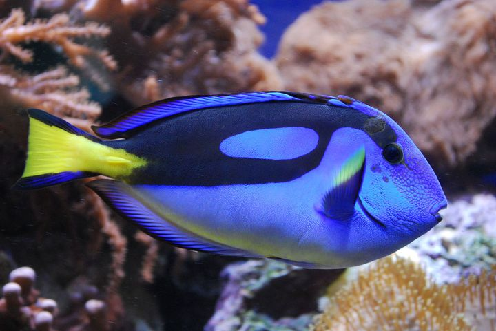 This photo of a blue tang clearly shows the caudal spine slightly extended near the fish's tail. Photograph by DerHans04, courtesy Wikimedia. CC-BY-SA-3.0,2.5,2.0,1.0