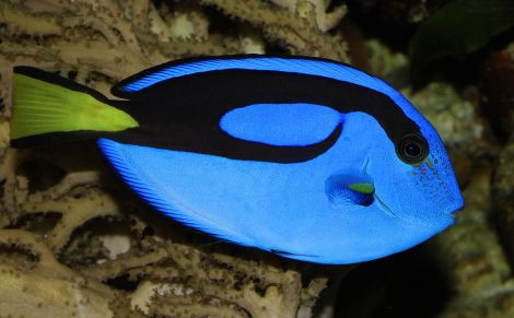Blue tangs can live more than 30 years in the wild. In aquariums, where they more readily acquire diseases, they generally survive about 8 to 12 years. The beautiful blue tang lives in the Ulm Zoo in Germany. Photograph by H. Krisp, courtesy Wikimedia. CC-BY-3.0