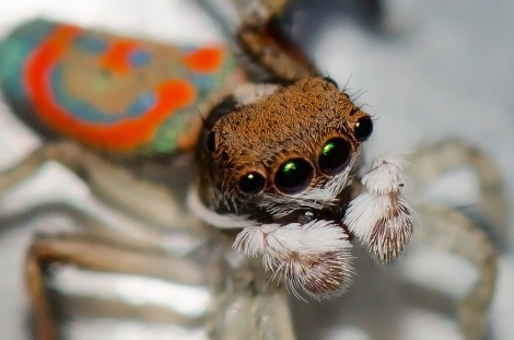 Maratus pavonis; Photo by Jean and Fred, courtesy Flickr. CC BY 2.0