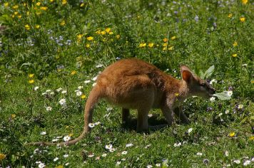 Agile wallabies is found throughout northern Australia and southern New Guinea. Photograph by KlausF, courtesy Wikimedia. CC-BY-SA-3.0