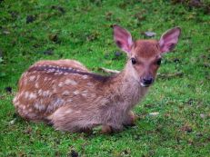 Sika deer are indigenous throughout East Asia, and are actually overabundant in Japan. Photograph by 4028mdk09, courtesy Wikimedia. CC-BY-SA 3.0