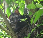 The Asian palm civet is found throughout South and Southeast Asia. Photograph by Praveenp, courtesy Wikimedia. CC-BY-SA-3.0