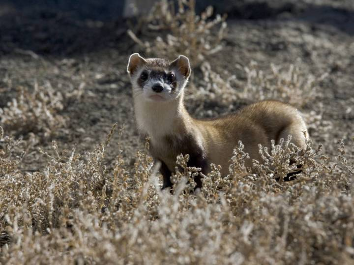 """The black-footed ferret is considered to be the rarest mammal in North America. In 1988, the U.S. Fish & Wildlife Service developed the """"Black-footed Ferret Recovery Plan"""" which emphasized species preservation through natural breeding, development of assisted reproductive technology, and theestablishment of multiple reintroduction sites. Ferrets were released back into the wild in Wyoming in 1991, in South Dakota and Montana in 1994, and in Arizona in 1998. The Colorado reintroduction started in 2001. Photograph by Ryan Hagerty, U.S. Fish & Wildlife Service"""