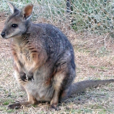 Tammar wallabies are fairly common in South and West Australia. Photograph by Matthew Wakefield ARC Centre for Kangaroo Genomics, courtesy Wikimedia. CC-BY-SA-2.0