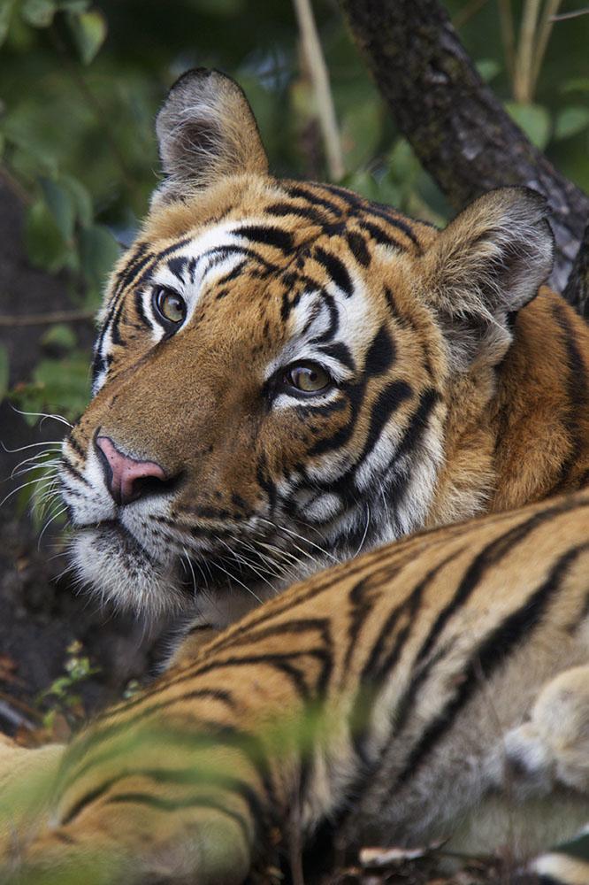 Portrait of a tiger inside Bandhavgarh National Park.