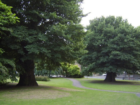 "The ""Preston Twins"" here are possibly the oldest English elms in the U.K. The trees, in Brighton, England, are about 400 years old. Photograph by Ulmus man, courtesy Wikimedia. CC-BY-SA-3.0"