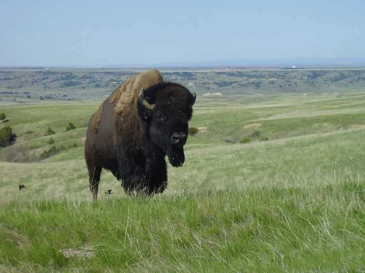 At Badlands National Park, home to this bison, rangers and other leaders are developing strategies to address diverse scenarios created by climate change. Photograph courtesy Badlands National Park, National Park Service