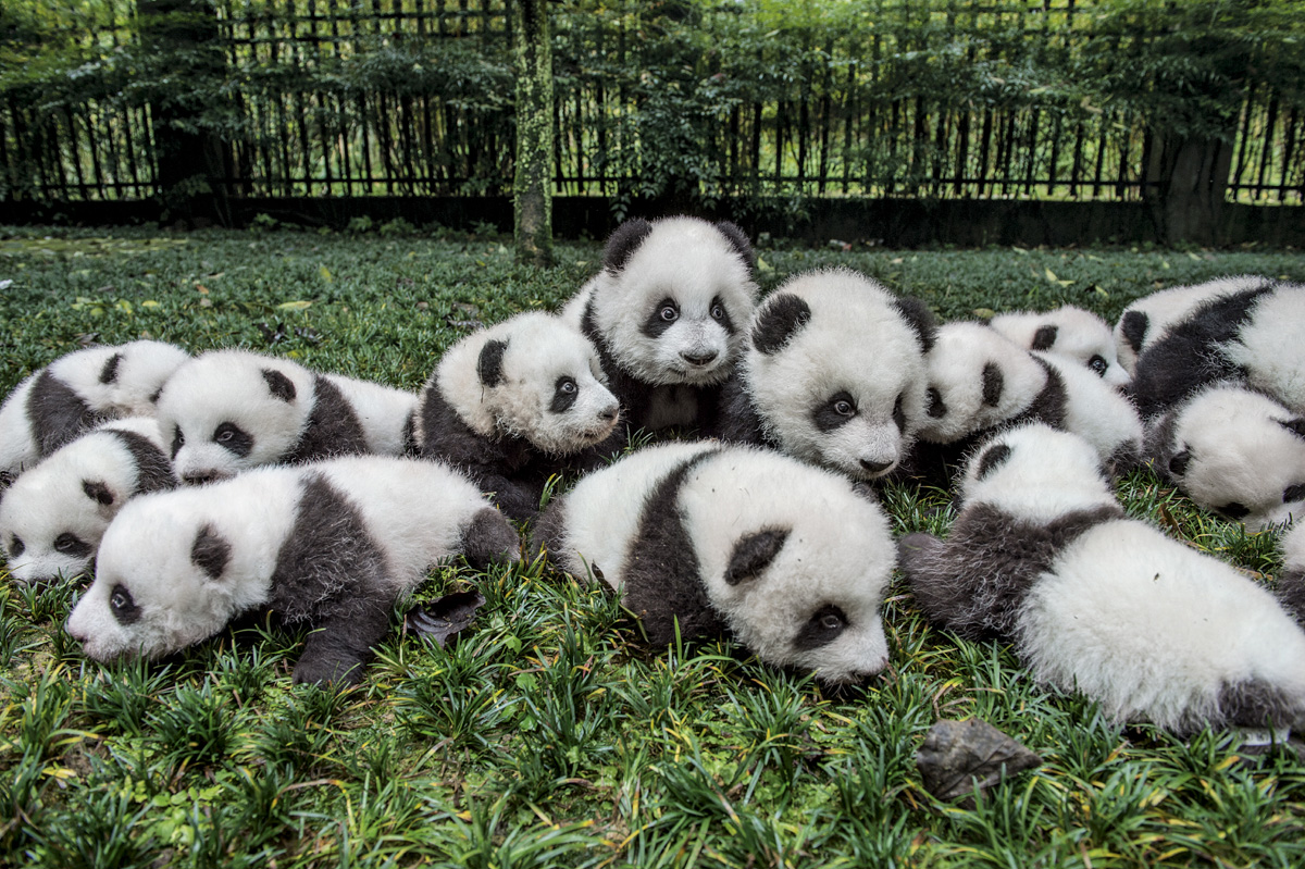 an overview of the giant panda an endangered specie native to china Welcome to most endangered animals  the bird originally belongs to or is a native of eastern asia countries,  chinese giant salamander.