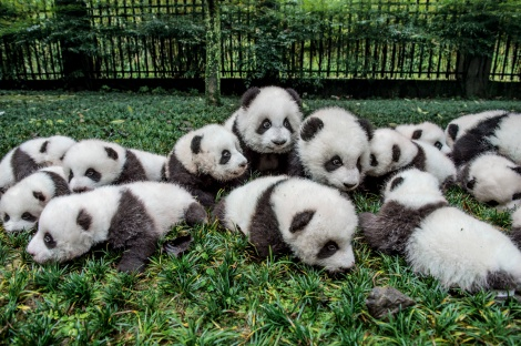 A group of pandas is called an embarrassment. This embarrassment of 18 cubs is engaging in embarrassingly adorable behavior at the Bifengxia Giant Panda Breeding and Research Center in Ya'an, China.