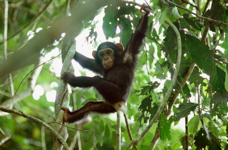 A baby chimpanzee hangs from a tree in the Goualougo Triangle region of the Congo Basin. Photograph by Michael Nichols, National Geographic