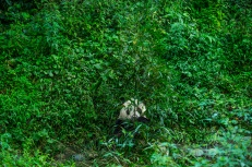 A panda's life is mostly solitary. Each adult has a defined territory, and spends most of its days eating bamboo. Photograph by Ami Vitale, National Geographic