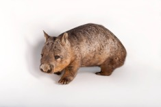Fact: Wombats not only fart, but poop square-shaped feces. Is that the only thing you'll remember from this study guide?Photograph by Joel Sartore, National Geographic Photo Ark