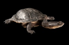 Snake-necked turtles like this one are sometimes called side-necked turtles. Photograph by Joel Sartore, National Geographic Photo Ark