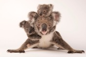 KOALAS! CUTENESS! Photograph by Joel Sartore, National Geographic Photo Ark