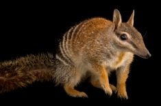 No, this isn't Scrat from the Ice Age movies. It's a numbat, an endangered marsupial. Photograph by Joel Sartore, National Geographic Photo Ark