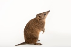 This critter is a golden bandicoot, another of Australia's marsupials. Photograph by Joel Sartore, National Geographic Photo Ark