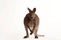 Surprise! Not a kangaroo. It's a red-necked wallaby, another marsupial. Photograph by Joel Sartore, National Geographic Photo Ark