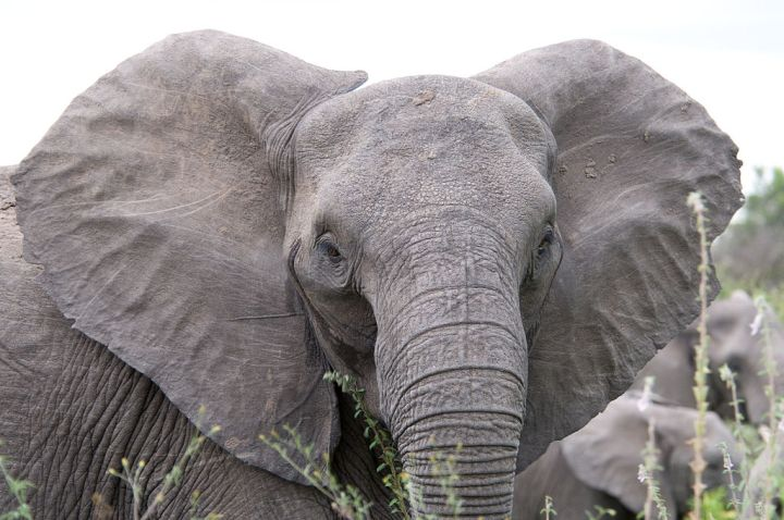 This South African elephant is naturally tuskless. And angry—look at those flared ears. Photograph by Chris Eason, courtesy Wikimedia. CC-BY-2.0