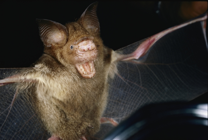 Bats are starting to listen for different noises when hunting. Photograph by Paul Zahl, National Geographic