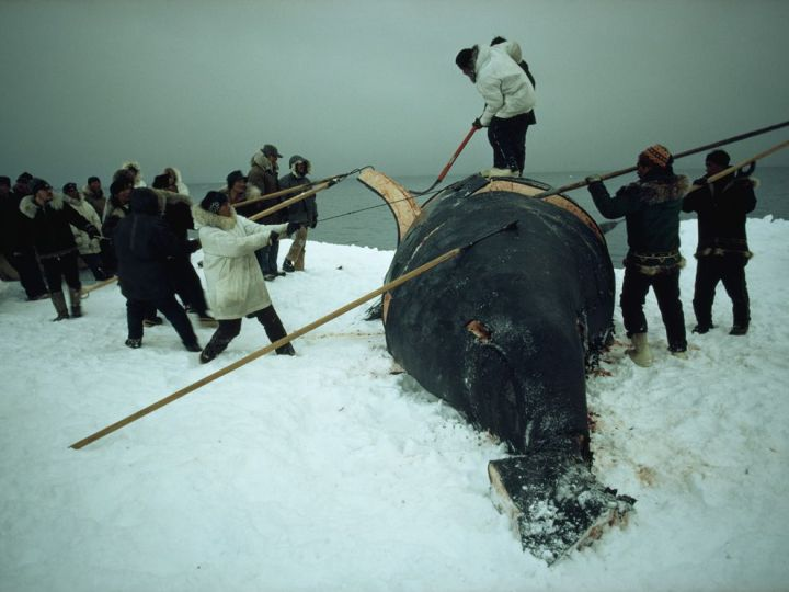 "Whaling has been a part of Arctic cultures for thousands of years. Even today, both the Saqqaq and Eskimo (above) are given an Aboriginal Subsistence Whaling quota by the International Whaling Commission. According to the most recent agreement, ""the number of bowhead whales struck from the West Greenland shall not exceed 2"" through 2018. Photograph by Emory Kristoff, National Geographic"