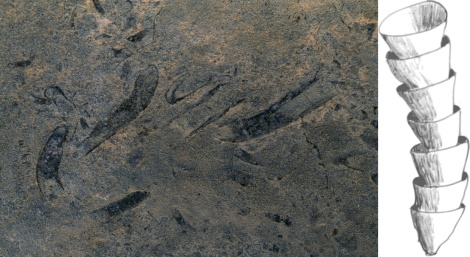 "Cloudina is one of the earliest skeletal animals. Cloudina, seen as a trace fossil on the left, had a characteristic ""stacked cup"" exoskeleton that presumably protected its soft insides from predators. (Some Cloudina fossils have holes that biologists think were made by predators attacking the animal by boring through its skeleton.) Photograph by O. Louis Mazzatenta, National Geographic Illustration by Graeme Bartlett, courtesy Wikimedia. CC-BY-SA-3.0"