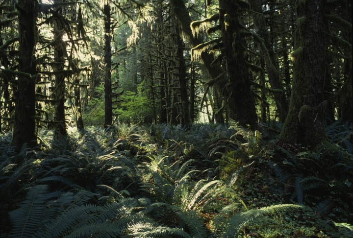 The Quinault rain forest on Washington's Olympic Peninsula may be the quietest space in the continental United States. Photograph by Sam Abell, National Geographic