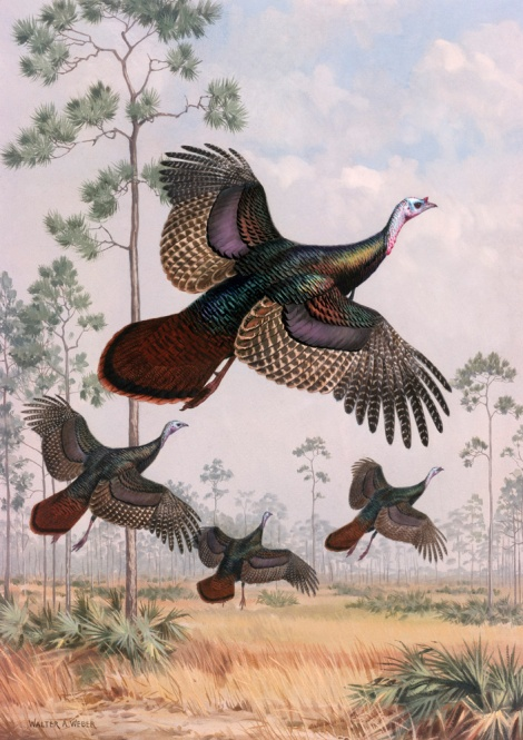 Flushed out of hiding, wild turkeys take flight near tall pine trees in this beautiful 1949 illustration. Illustration by Walter A. Weber, National Geographic