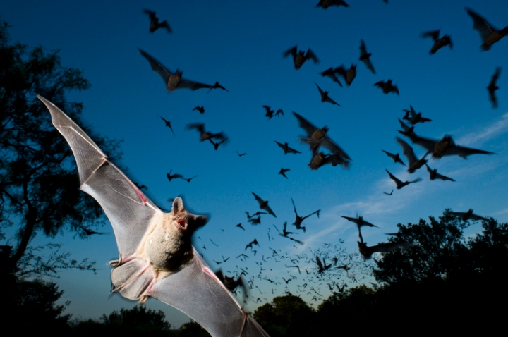 Mexican free-tailed bats flee a bat-cave preserve in Texas. Photograph by Joel Sartore, National Geographic