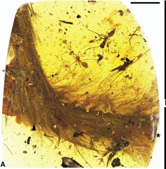 "dinotail The dinosaur's tail was ""long and flexible, with keels of feathers running down each side,"" says the study's co-author, Ryan McKellar. ""A Feathered Dinosaur Tail with Primitive Plumage Trapped in Mid-Cretaceous Amber,"" Lida Xing et. al Current BiologyDOI: http://dx.doi.org/10.1016/j.cub.2016.10.008 © 2016 Elsevier Ltd."
