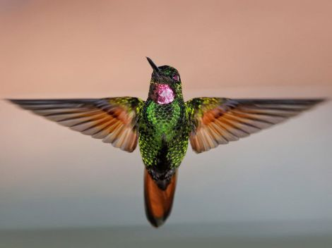 Most hummingbirds, like this beautiful Brazilian ruby, are tropical. Photograph by Christianus Fabbri, National Geographic My Shot