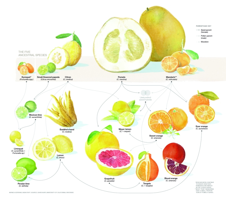 This beautiful illustration of the citrus family tree will appear in the February issue of National Geographic magazine. Illustration by Monica Serrano, National Geographic