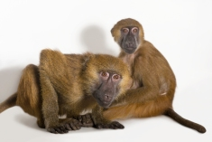 Baboons fart, and apparently fertile females produce the worst toots. Photograph by Joel Sartore, National Geographic Photo Ark