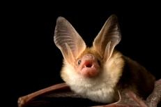 """""""The bigger [bats] are, the harder they fart."""" Photograph by Joel Sartore, National Geographic Photo Ark"""