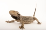Bearded dragons sometimes fart before pooping. Photograph by Joel Sartore, National Geographic Photo Ark