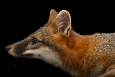 "A biologist confirms that ""bobcats, gray foxes [above] fart."" Photograph by Joel Sartore, National Geographic Photo Ark"