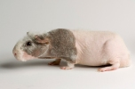 """Guinea pigs produce clouds of brown mist that """"stink to high heaven."""" Photograph by Joel Sartore, National Geographic Photo Ark"""