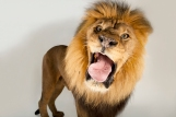 Lions fart, at least when sedated. Photograph by Joel Sartore, National Geographic Photo Ark