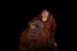 "Orangutans ""do it often and have no shame."" Photograph by Joel Sartore, National Geographic Photo Ark"