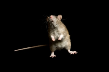 Rats can't burp, but they sure can fart. Photograph by Joel Sartore, National Geographic Photo Ark