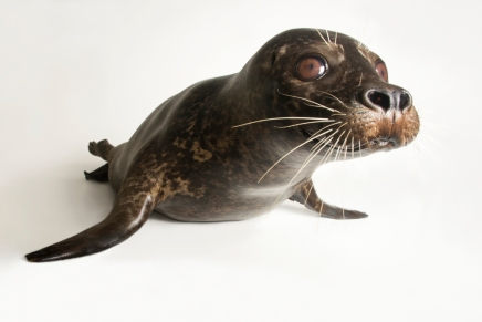 "South Georgia Island has ""extremely gassy seals."" Photograph by Joel Sartore, National Geographic Photo Ark"