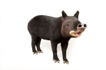 """Tapirs fart """"in great amplitude,"""" writes one ecologist. Photograph by Joel Sartore, National Geographic Photo Ark"""