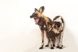 African wild dogs definitely fart, as do their domestic cousins. Photograph by Joel Sartore, National Geographic Photo Ark